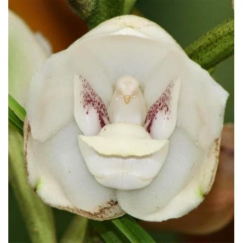 100 Sementes De Orquídea Peristeria Elata Shopee Brasil